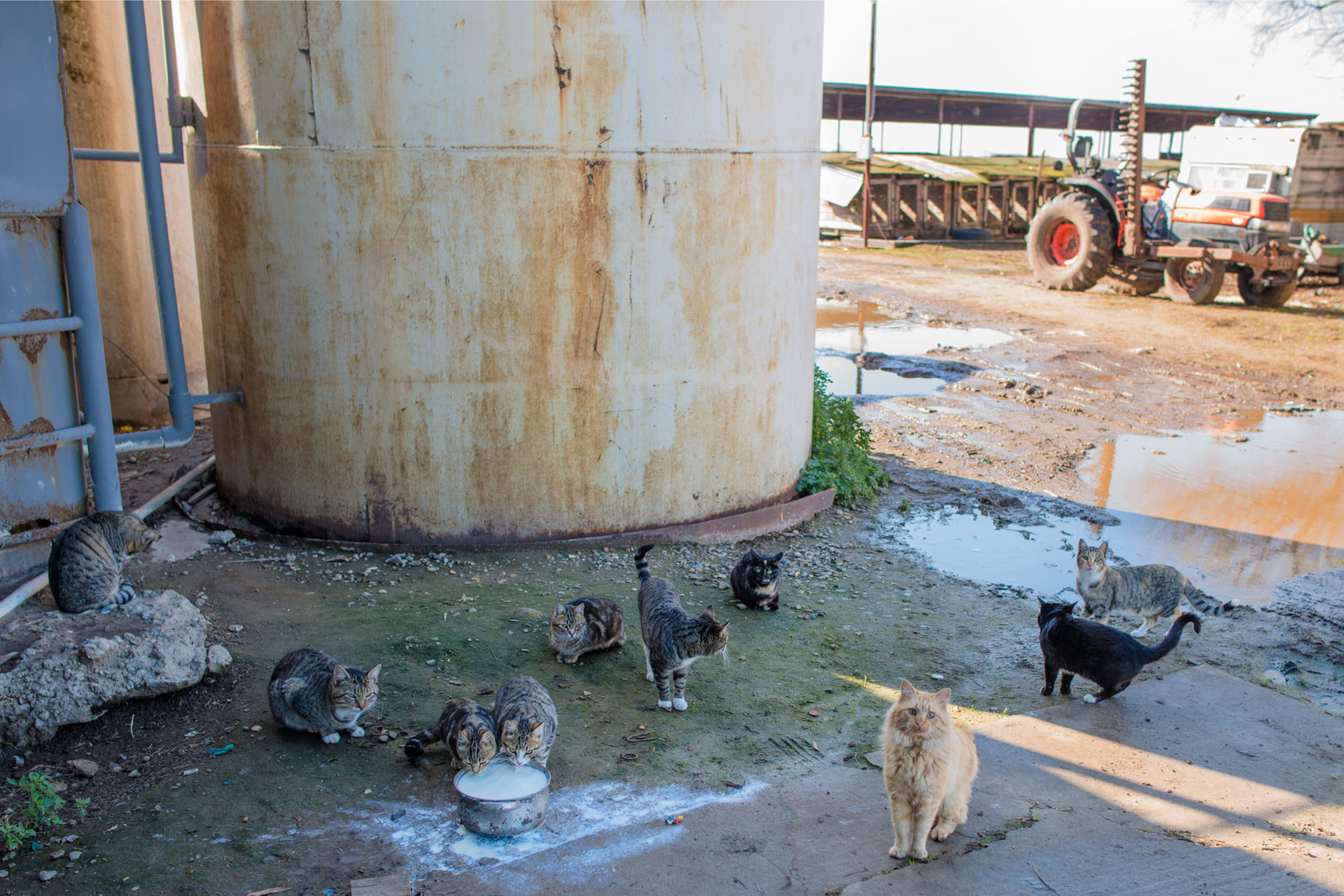 Dairy farm cats