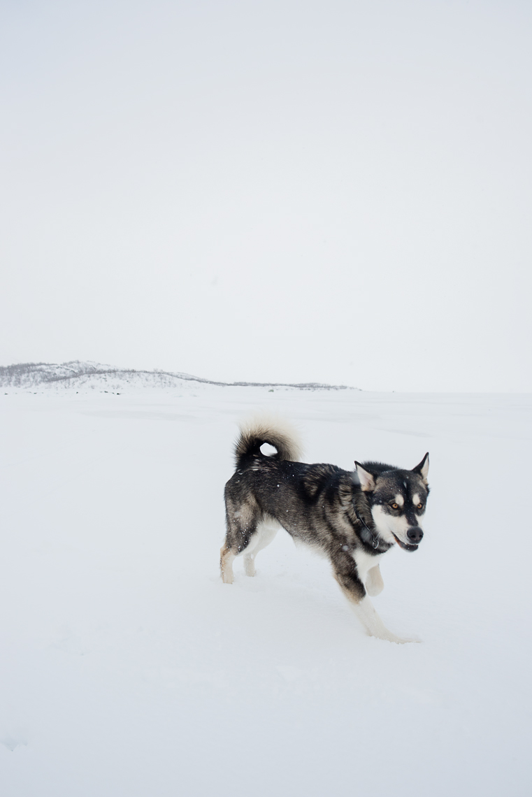 Malamute running on a frozen lake in Sweden