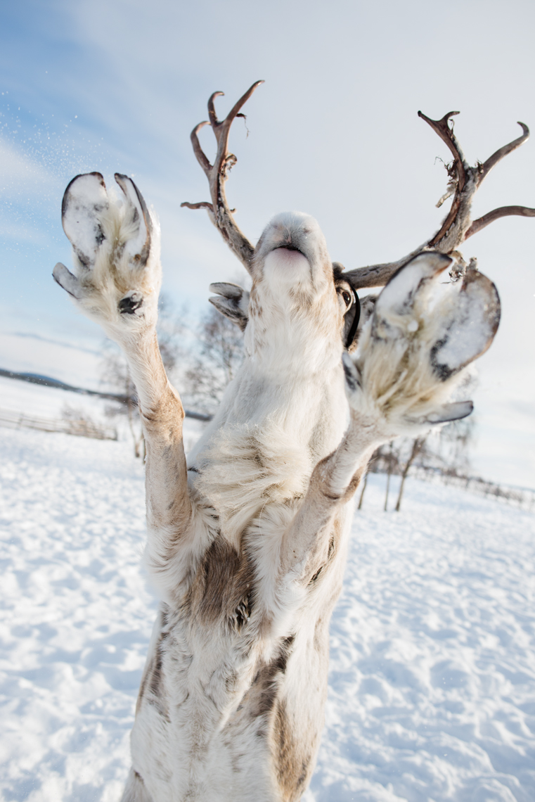 Leaping reindeer full of joy