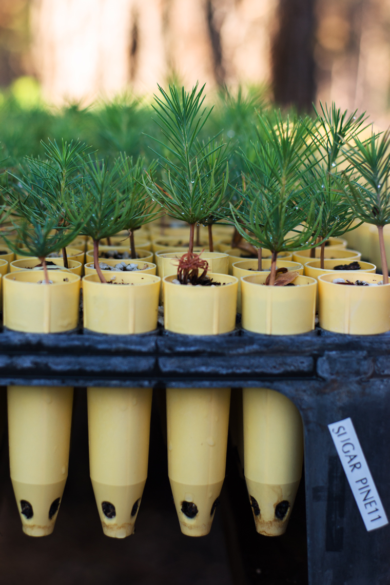Sugar pine seedlings